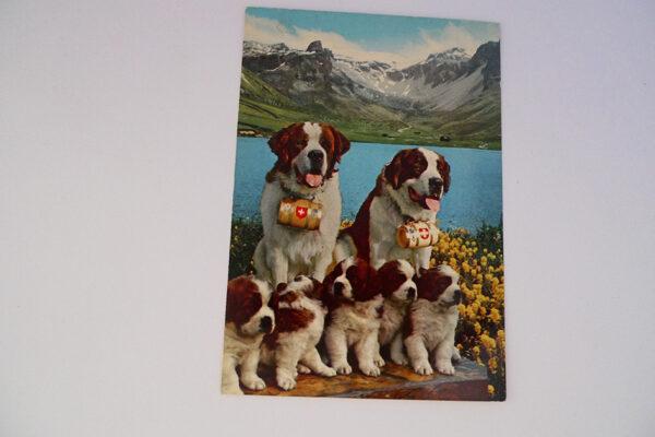 Bernhardinerhunde mit Jungen