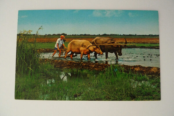 Ploughing with buffaloes in the rice field in Thailand